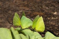 Πράσινες πεταλούδες Στοκ φωτογραφίες με δικαίωμα ελεύθερης χρήσης