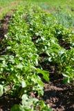 πράσινες πολύβλαστες νεολαίες πατατών θάμνων σπορείων Στοκ φωτογραφία με δικαίωμα ελεύθερης χρήσης