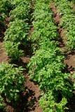 πράσινες σειρές πατατών ανά&p Στοκ εικόνες με δικαίωμα ελεύθερης χρήσης