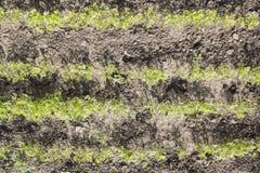 Πράσινες σειρές των καρότων Στοκ φωτογραφίες με δικαίωμα ελεύθερης χρήσης