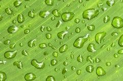πράσινες σταγόνες βροχής φύλλων ανασκόπησης Στοκ Εικόνες