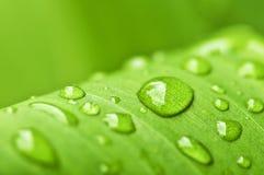 πράσινες σταγόνες βροχής φύλλων ανασκόπησης Στοκ εικόνα με δικαίωμα ελεύθερης χρήσης