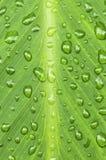 πράσινες σταγόνες βροχής φύλλων ανασκόπησης Στοκ Φωτογραφίες