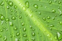 πράσινες σταγόνες βροχής φύλλων ανασκόπησης Στοκ εικόνες με δικαίωμα ελεύθερης χρήσης