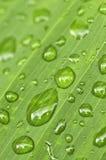 πράσινες σταγόνες βροχής φύλλων ανασκόπησης Στοκ Φωτογραφία