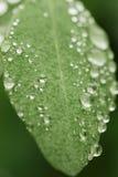 πράσινες σταγόνες βροχής φύλλων Στοκ φωτογραφίες με δικαίωμα ελεύθερης χρήσης