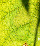 Πράσινες στενές επάνω λεπτομέρειες σύστασης φύλλων Στοκ Εικόνες