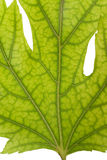 πράσινες φλέβες σφενδάμνου φύλλων Στοκ Εικόνες