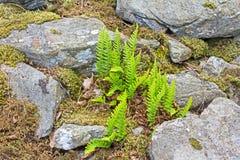 Πράσινες φτέρες που αυξάνονται μεταξύ των βράχων στοκ εικόνες