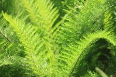 Πράσινες φτέρες Στοκ Εικόνες