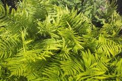 Πράσινες φτέρες Στοκ Φωτογραφία