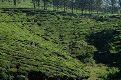 Πράσινες φυτείες τσαγιού σε Munnar, Κεράλα, Ινδία στοκ εικόνα