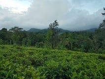 Πράσινες φυτείες τσαγιού της Κεϋλάνης στοκ φωτογραφία με δικαίωμα ελεύθερης χρήσης