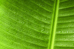Πράσινες φύλλο μπανανών κινηματογραφήσεων σε πρώτο πλάνο και περίληψη υποβάθρου πτώσης νερού Στοκ Εικόνες