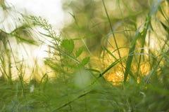 Πράσινες χλόη και εγκαταστάσεις στο αφηρημένο υπόβαθρο φύσης ηλιοβασιλέματος Θαμπάδα, bokeh, μακροεντολή Στοκ Εικόνες