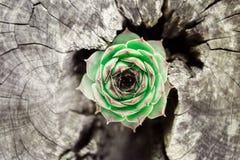 Πράσινες χρωματισμένες κοινές εγκαταστάσεις houseleek στοκ φωτογραφία με δικαίωμα ελεύθερης χρήσης