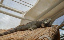 Πράσινες iguana και πεταλούδα Στοκ φωτογραφία με δικαίωμα ελεύθερης χρήσης