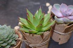 Πράσινες succulents και μακροεντολή κάκτων Στοκ Εικόνες