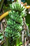 Πράσινες Unripe μπανάνες Στοκ φωτογραφίες με δικαίωμα ελεύθερης χρήσης
