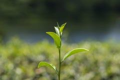 Πράσινη άδεια τσαγιού Στοκ Φωτογραφία
