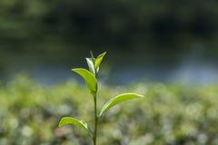 Πράσινη άδεια τσαγιού Στοκ Εικόνες