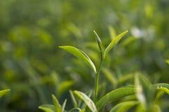 Πράσινη άδεια τσαγιού Στοκ φωτογραφία με δικαίωμα ελεύθερης χρήσης