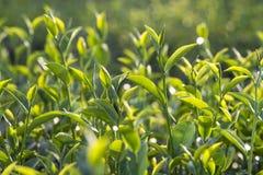 Πράσινη άδεια τσαγιού Στοκ Εικόνα