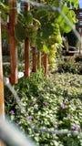 πράσινη άμπελος σταφυλιών Στοκ Φωτογραφίες