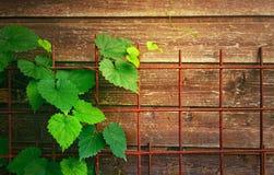 Πράσινη άμπελος στο υπόβαθρο των ξύλινων πινάκων και του σκουριασμένου πλέγματος Στοκ Εικόνα