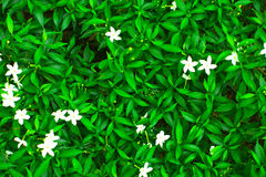 Πράσινη άνθιση φύλλων και μουτζουρωμένα άσπρα λουλούδια Στοκ Φωτογραφίες