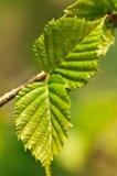 πράσινη άνοιξη φύλλων Στοκ φωτογραφία με δικαίωμα ελεύθερης χρήσης