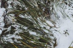 Πράσινη άσπρη λεπτομέρεια εποχών χρωμάτων χειμερινού παγετού χλόης χιονιού παγωμένη Στοκ Εικόνα