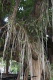 Πράσινη έννοια μεγάλων ηλικιών εγκαταστάσεων δέντρων Στοκ φωτογραφίες με δικαίωμα ελεύθερης χρήσης