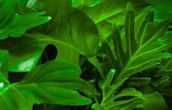 Πράσινη έννοια υποβάθρου Τροπικά φύλλα φοινικών, φύλλο ζουγκλών Στοκ Εικόνα