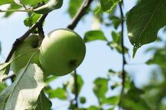 Πράσινη ένωση της Apple στο δέντρο Στοκ Φωτογραφίες