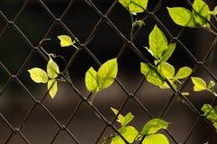 Πράσινη ένωση φύλλων στο φράκτη καλωδίων Στοκ εικόνες με δικαίωμα ελεύθερης χρήσης