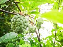 Πράσινη ένωση squamosa της Apple Annona κρέμας στον κλάδο του με τα φύλλα στην Ταϊλάνδη Στοκ εικόνα με δικαίωμα ελεύθερης χρήσης