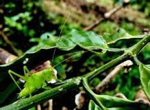 Πράσινη ακρίδα στοκ εικόνα
