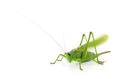 Πράσινη ακρίδα Στοκ Φωτογραφίες