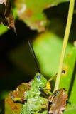 Πράσινη ακρίδα Milkwood στοκ εικόνες