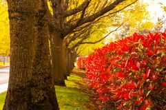Πράσινη αλέα δέντρων και οι κόκκινοι Μπους Στοκ εικόνες με δικαίωμα ελεύθερης χρήσης