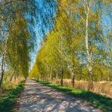 Πράσινη αλέα σημύδων στο πάρκο Στοκ Εικόνες