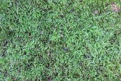 Πράσινη ανάπτυξη βρύου στο δάσος Στοκ Εικόνα