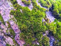 Πράσινη ανάπτυξη βρύου στο δέντρο Στοκ φωτογραφία με δικαίωμα ελεύθερης χρήσης