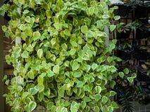 Πράσινη ανάπτυξη εγκαταστάσεων κισσών στον τοίχο Στοκ Φωτογραφίες