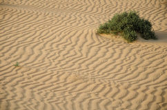Πράσινη ανάπτυξη θάμνων στην έρημο Στοκ Εικόνα