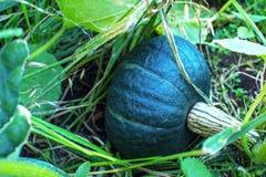 Πράσινη ανάπτυξη κολοκύθας στον κήπο Στοκ φωτογραφία με δικαίωμα ελεύθερης χρήσης