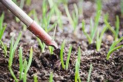 Πράσινη ανάπτυξη κρεμμυδιών στον κήπο Στοκ φωτογραφία με δικαίωμα ελεύθερης χρήσης