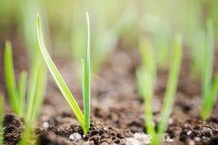 Πράσινη ανάπτυξη κρεμμυδιών στον κήπο Στοκ Εικόνα