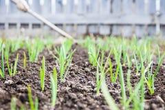 Πράσινη ανάπτυξη κρεμμυδιών στον κήπο Στοκ Φωτογραφία